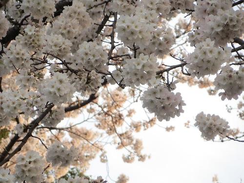 sakura_0401_2.JPG