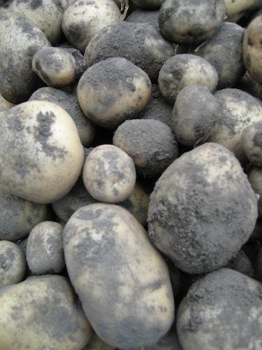 patate_0709_1.JPG
