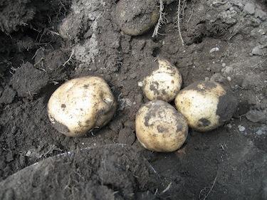 patate_0709_6.JPG